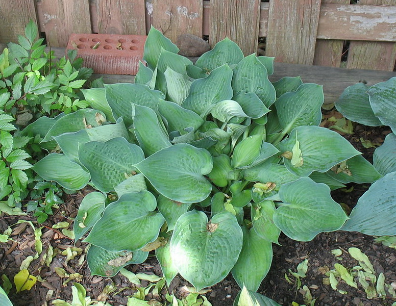 Hosta 'Punky' - 2013 - June 25