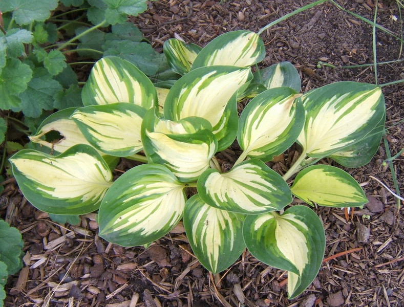 Hosta 'Peppermint Ice' - 2009