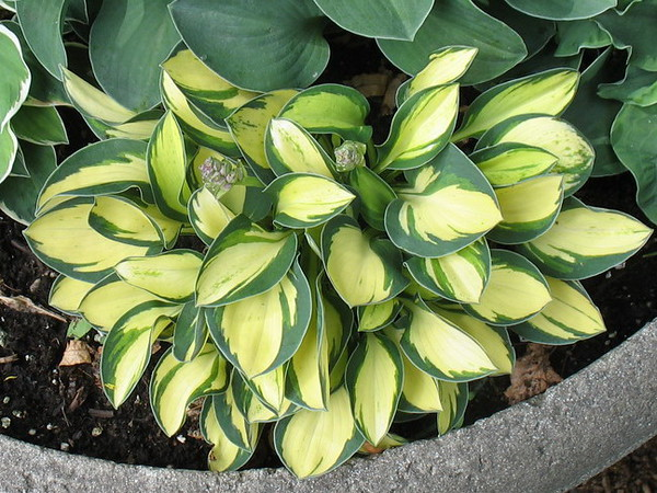 Hosta 'Pure Heart' - 2016 - June 28
