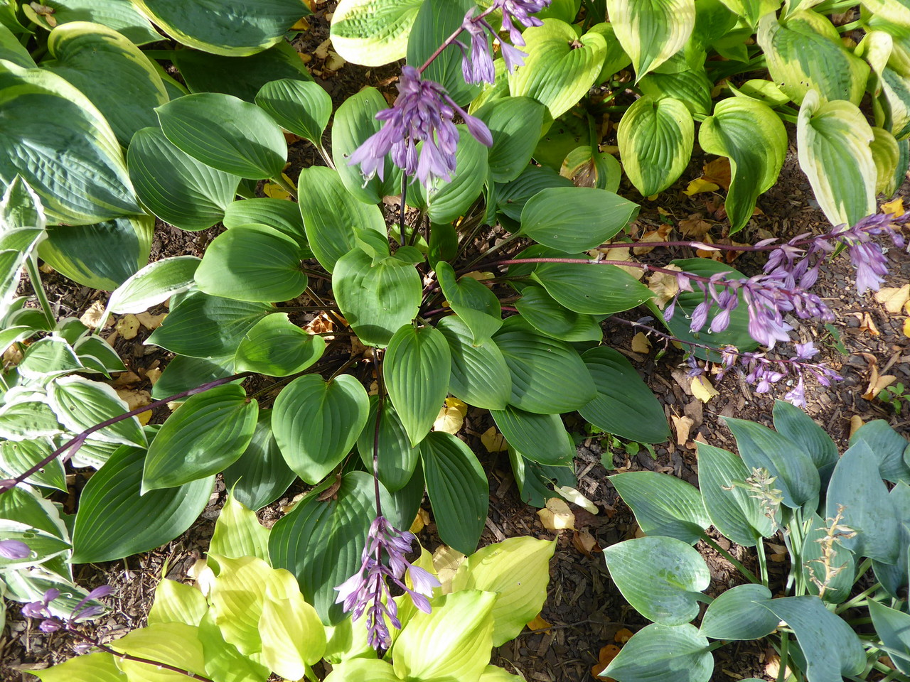 Hosta 'Purple Heart' - 2016 - Sept. 14