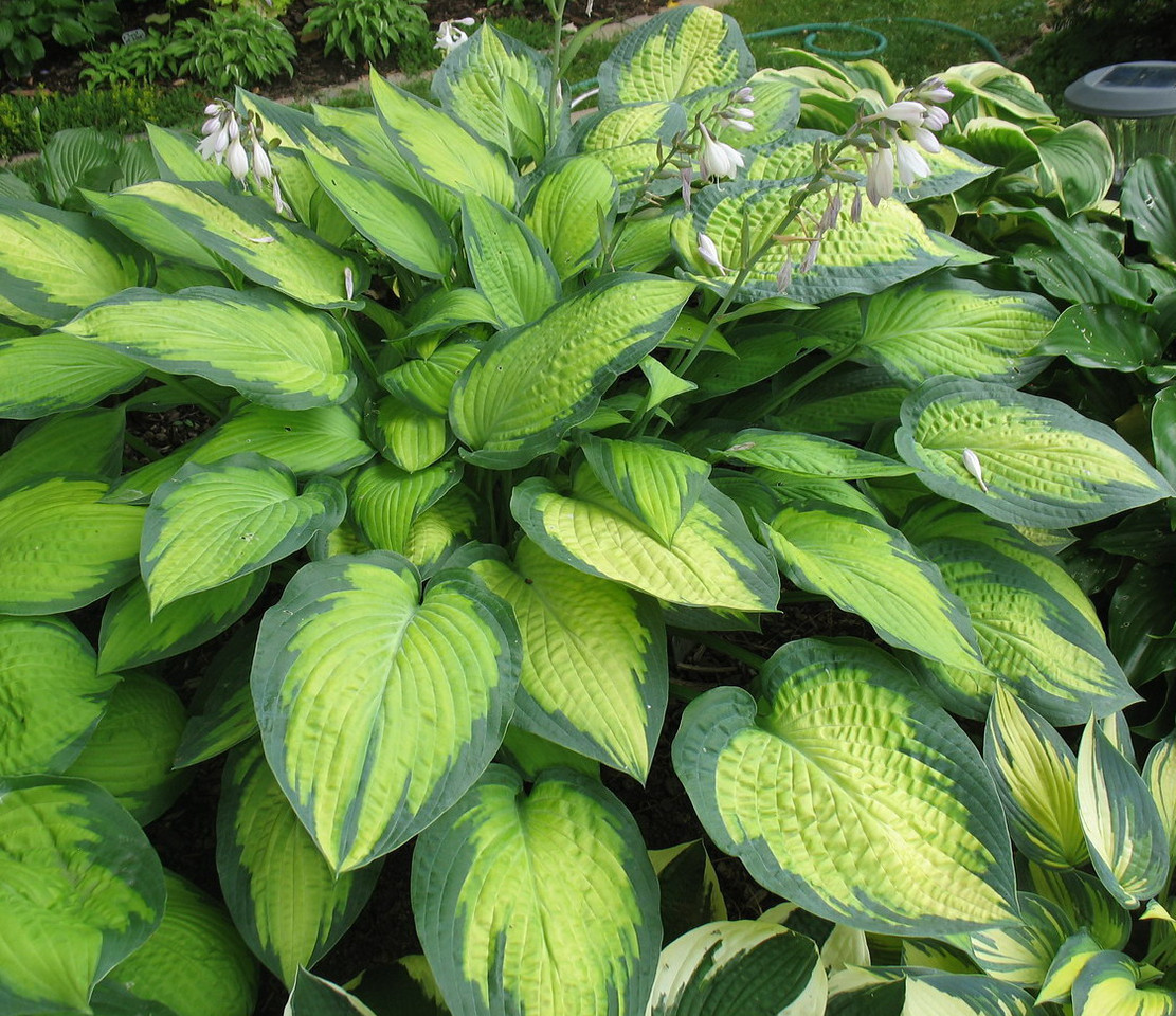 Hosta 'Paul's Glory' - 2012 - July 15