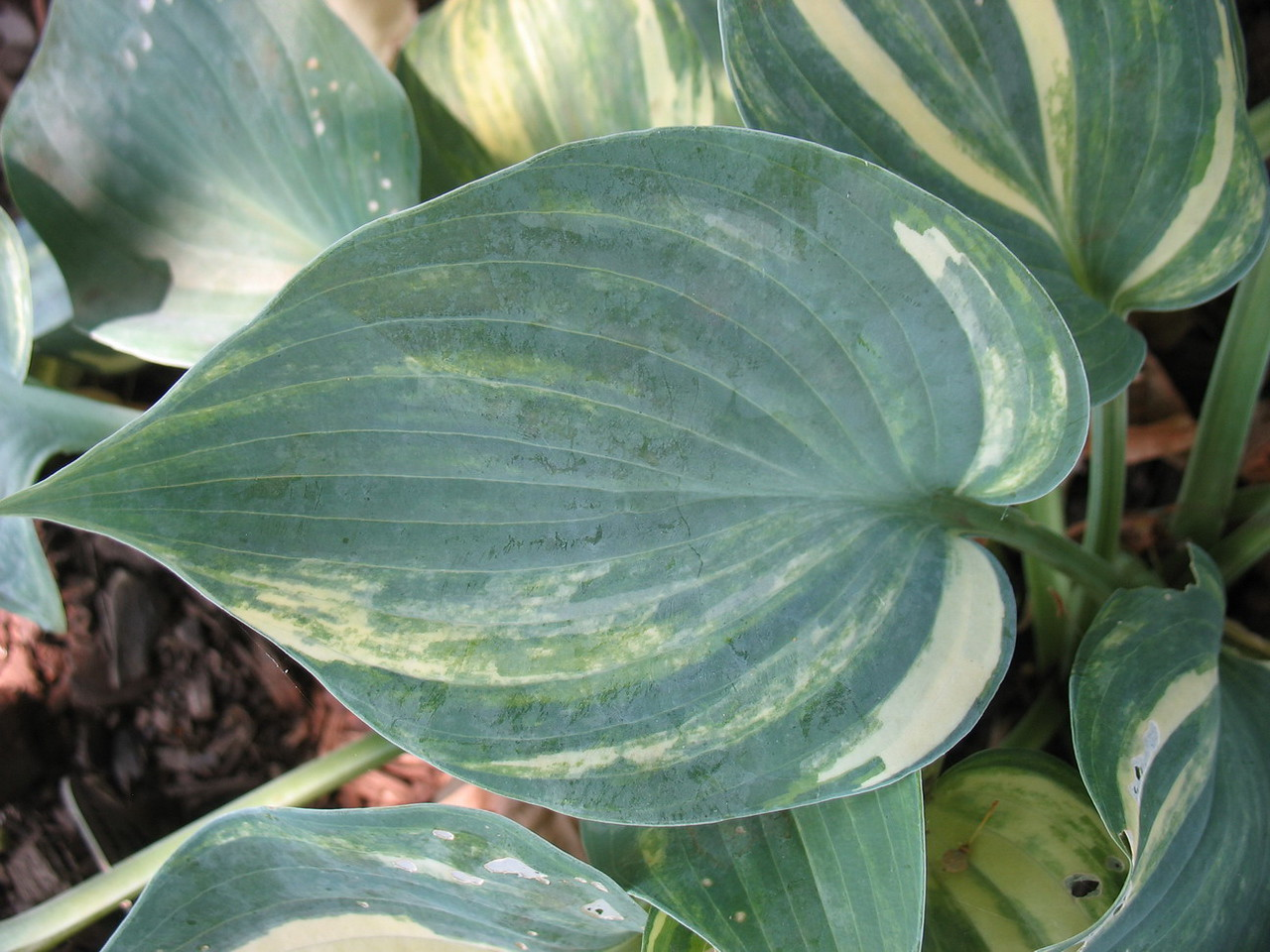 Hosta 'Pewterware' - streaked sport - 2012 - July 14