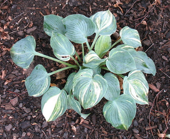 Hosta 'Pewterware' - streaked sport - 2013 - July 28