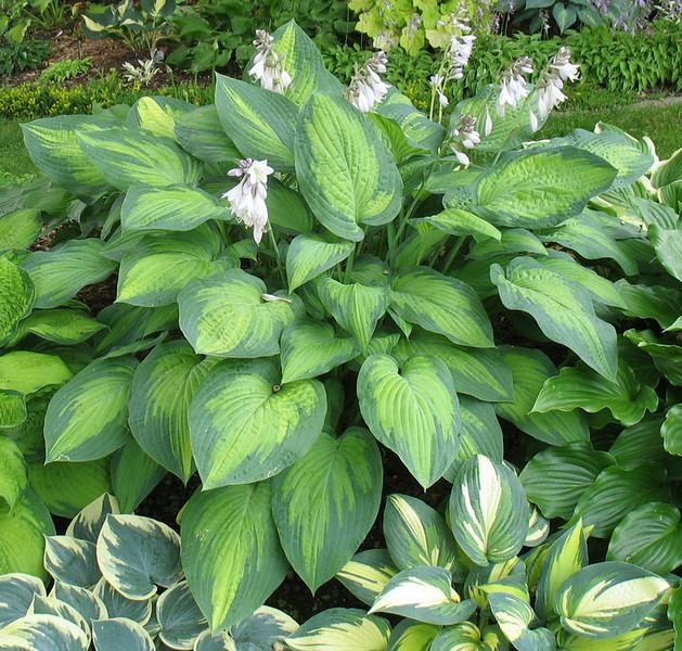 Hosta 'Paul's Glory' - 2014 - July 16
