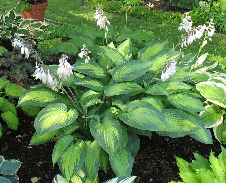 Hosta 'Paul's Glory' - 2016 - July 20