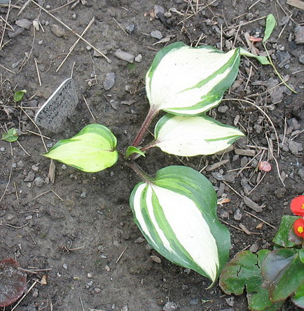 Hosta 'Raspberry Sundae' - 2013 - June 25