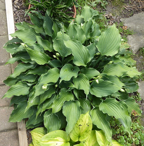 Hosta 'Restless Sea' - 2017 - Aug. 15