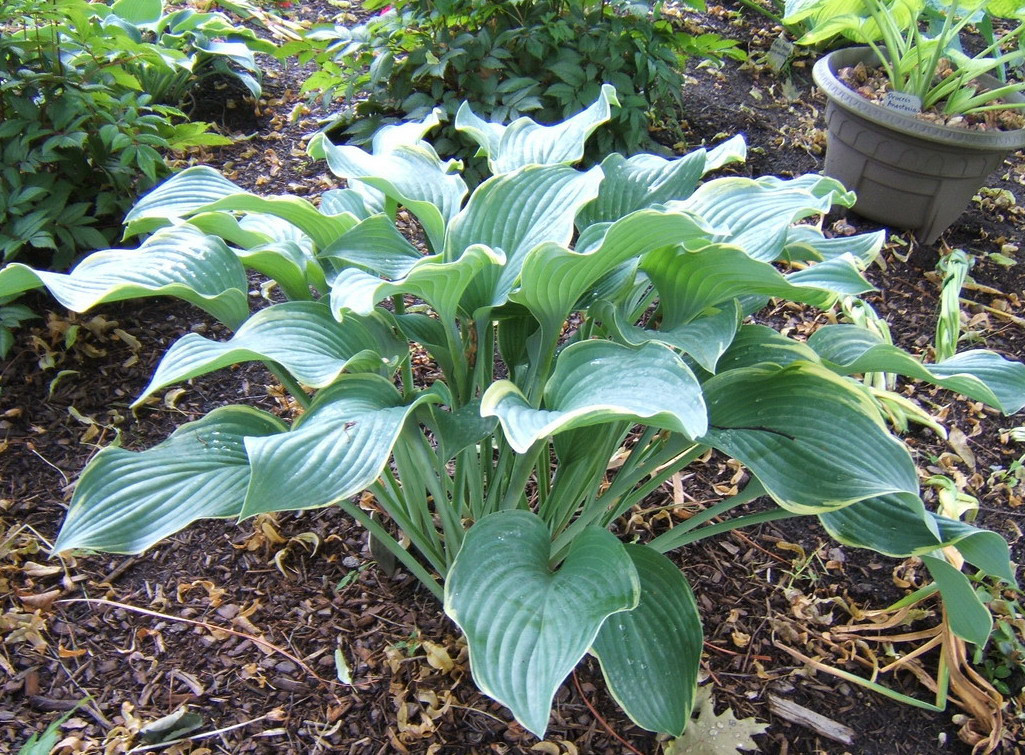 Hosta 'Regal Splendor' - 2009