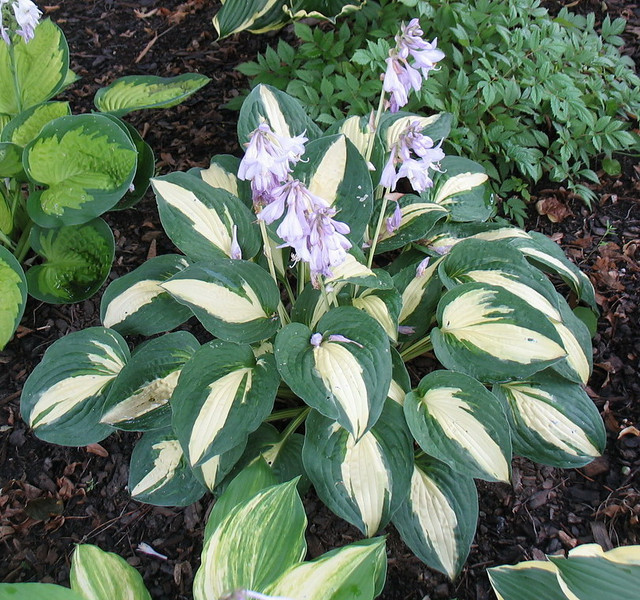 Hosta 'Rootin Tootin' - 2013 - July 28