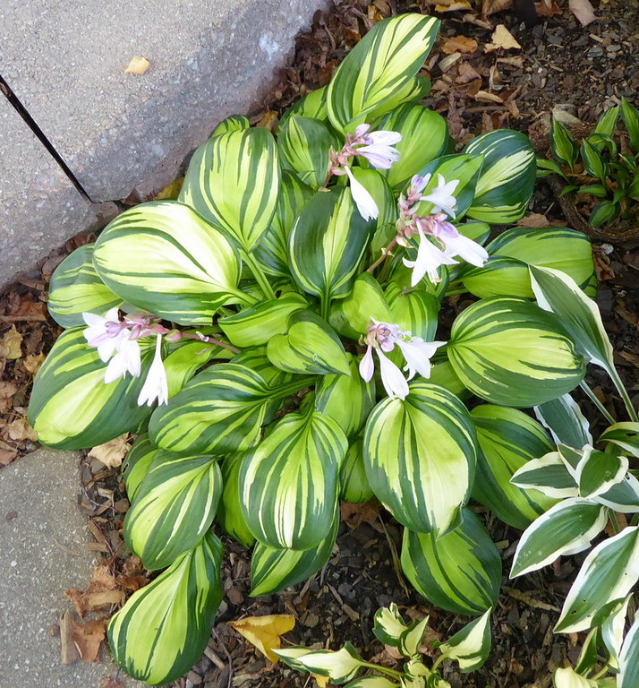 Hosta 'Rainbow's End' - 2016 - Aug 18
