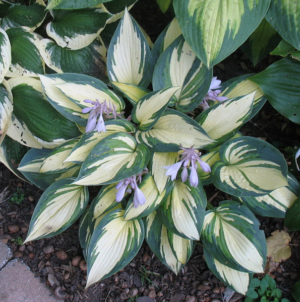 Hosta 'Remember Me' - 2011