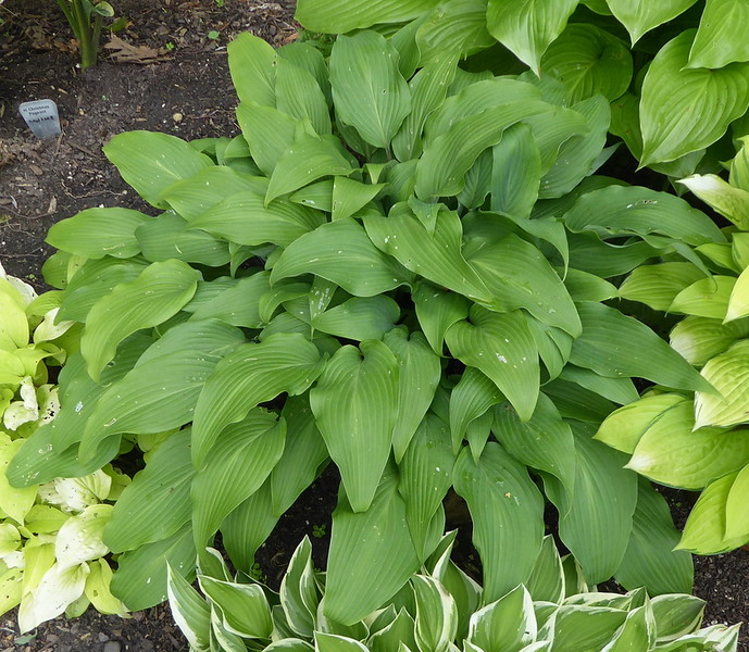 Hosta 'Red October' - 2017 - July 12
