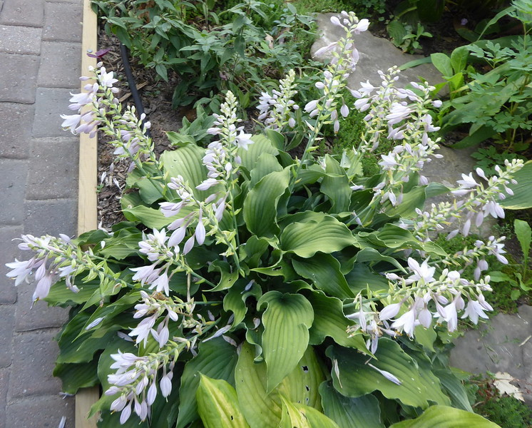 Hosta 'Restless Sea' - 2016 - Sept. 5