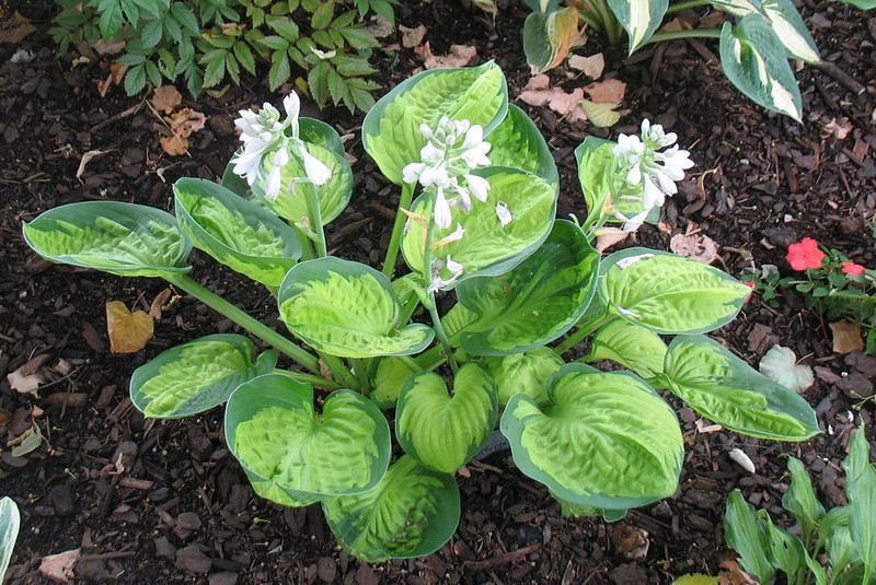 Hosta 'Rainforest Sunrise' - 2012 - July 15
