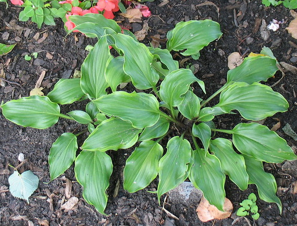 Hosta 'Raspberries and Cream' - 2011