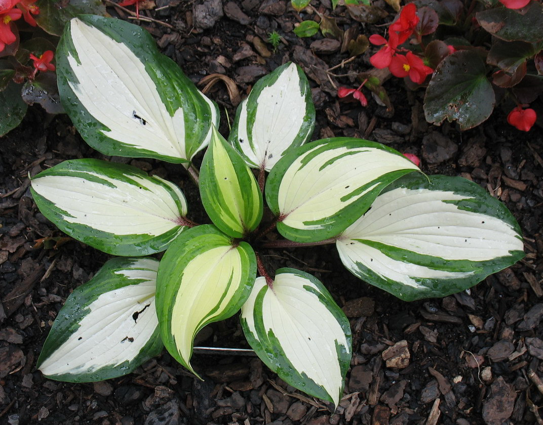 Hosta 'Raspberry Sundae' - 2014 - July 27