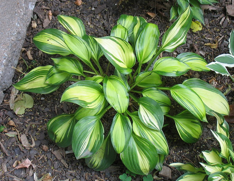 Hosta 'Rainbow's End' - 2012 - June 26