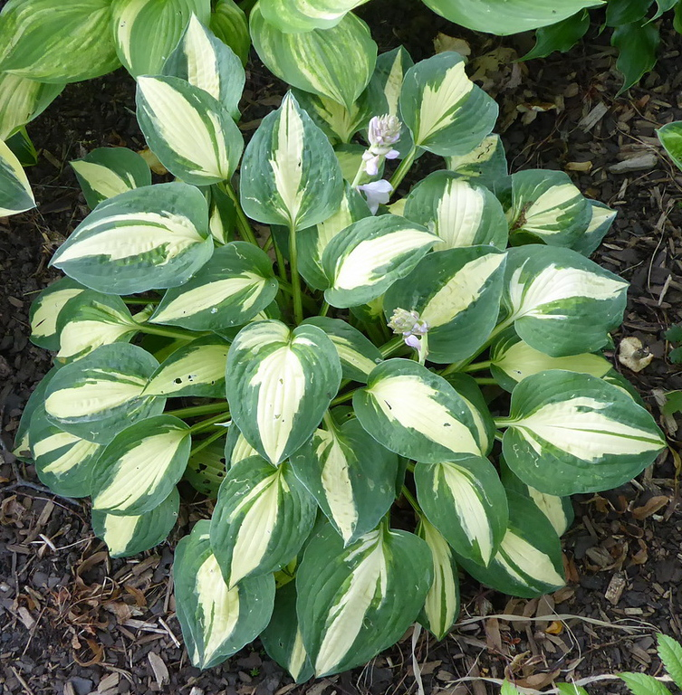 Hosta 'Rootin Tootin' - 2017 - July 19
