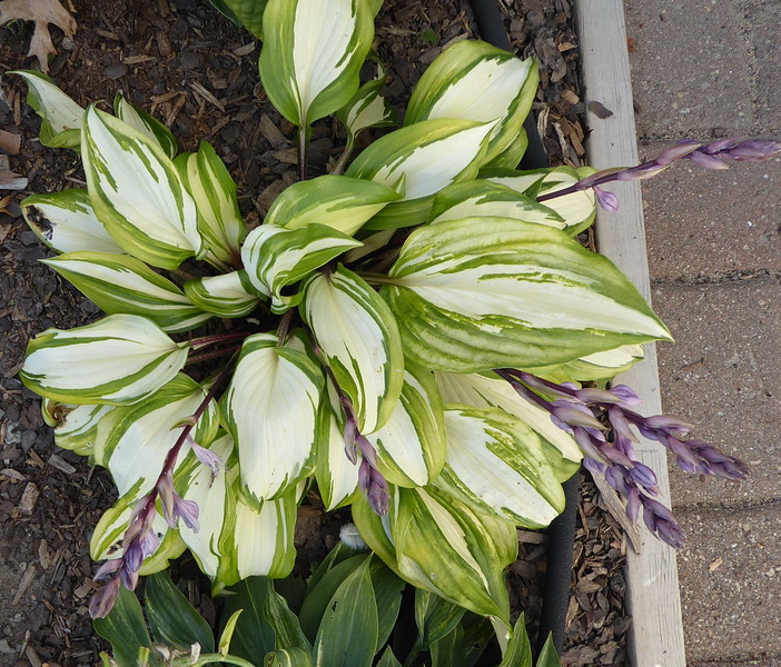 Hosta 'Raspberry Sundae' - 2016 - Sept. 5