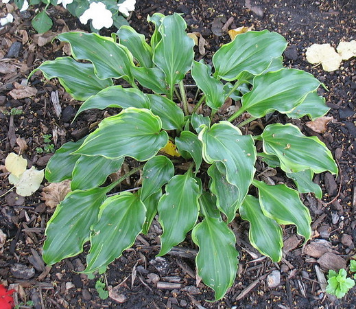 Hosta 'Raspberries and Cream' - 2010