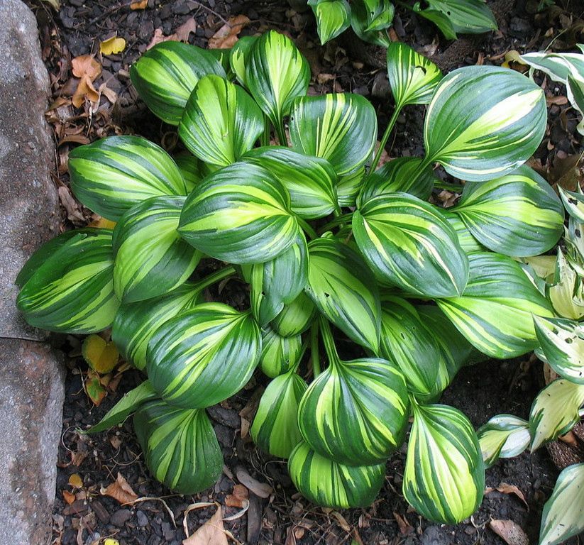 Hosta 'Rainbow's End' - 2014 - July 27