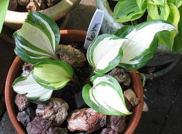 Hosta 'Raspberry Sundae' - 2012 - July 13