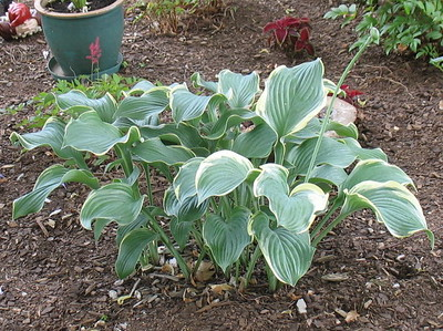 Hosta 'Regal Splendor' - 2016 - July 23