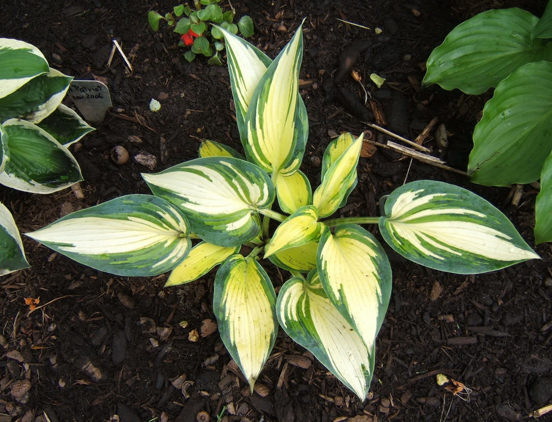Hosta 'Remember Me' 2009
