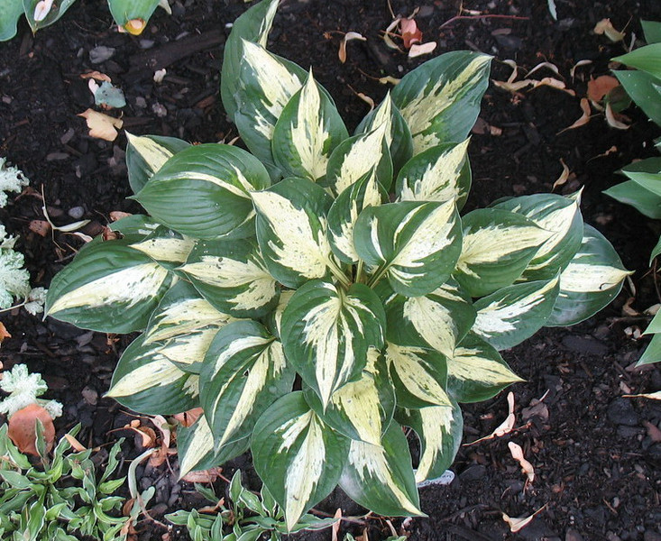 Hosta 'Revolution' - 2012 - July 13