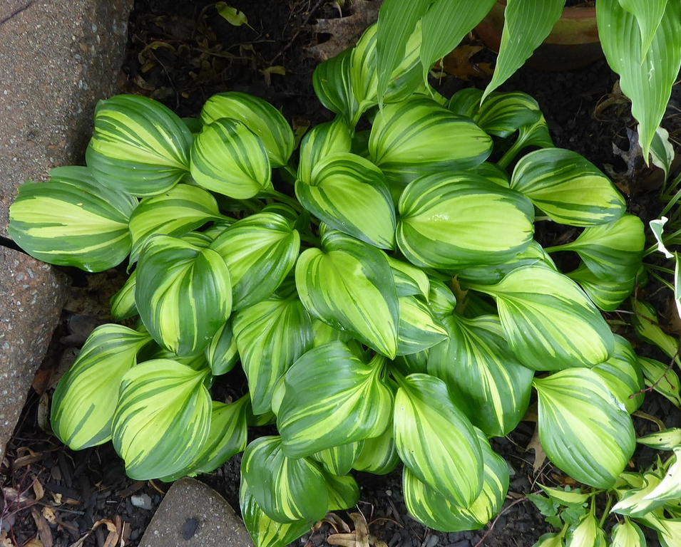 Hosta 'Rainbow's End' - 2017 - July 1