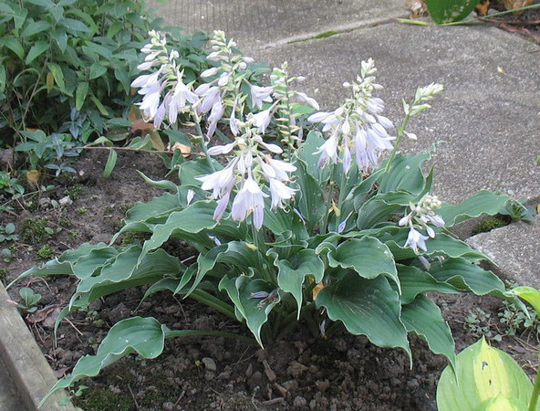 Hosta 'Restless Sea' - 2011 - August 27
