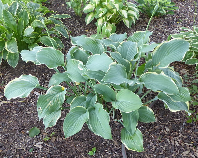 Hosta 'Regal Splendor' - 2017 - July 19