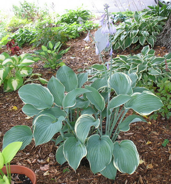 Hosta 'Regal Splendor' - 2014 - July 27