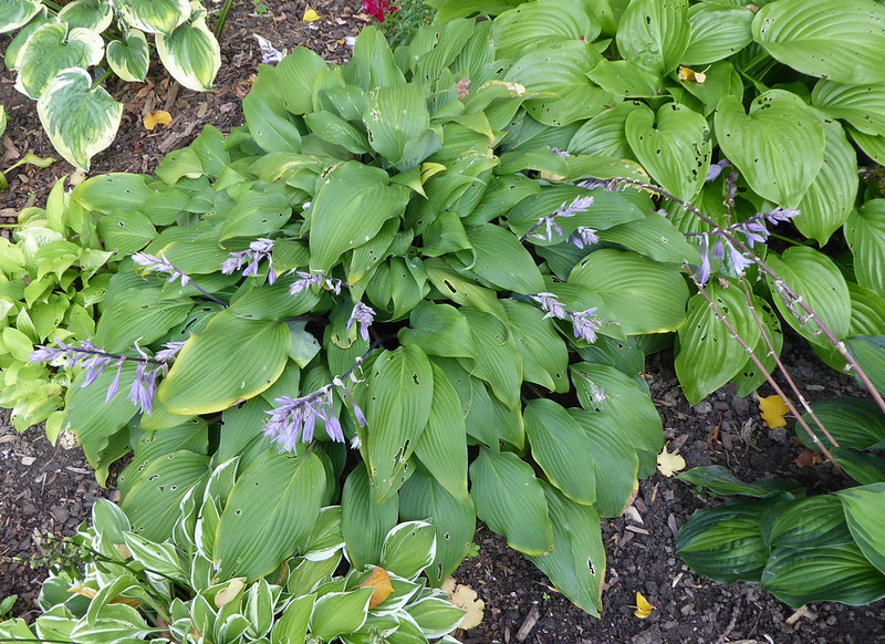 Hosta 'Red October' - 2016 - Sept. 27