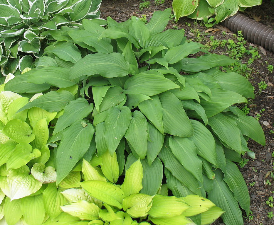 Hosta 'Red October' - 2012 - June 26