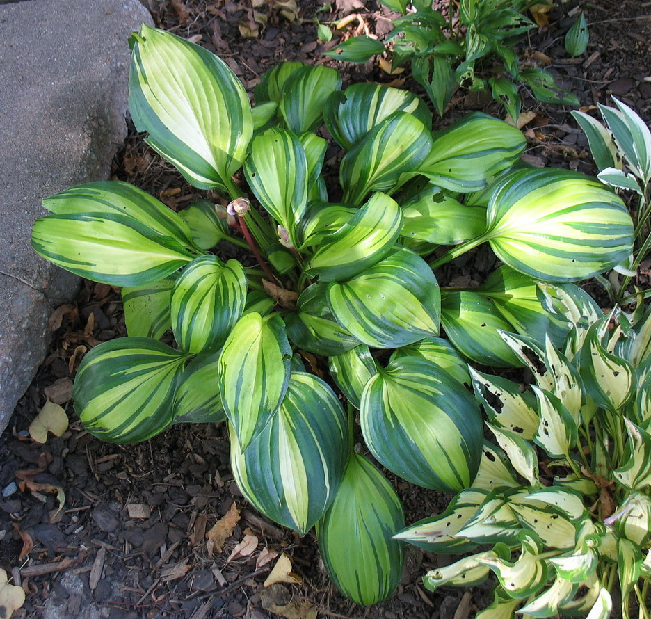 Hosta 'Rainbow's End' - 2013 - August 10
