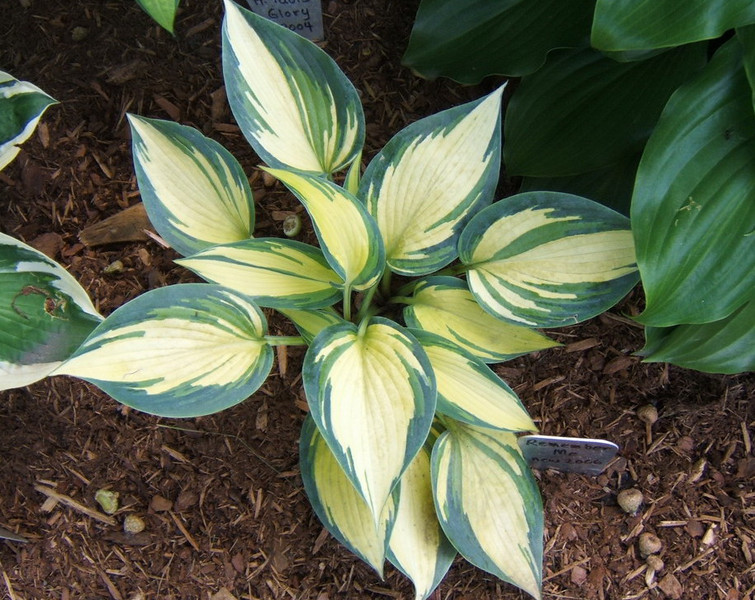 Hosta 'Remember Me' - 2008 - July 15.