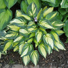 Hosta 'Remember Me' - 2013 - August 10