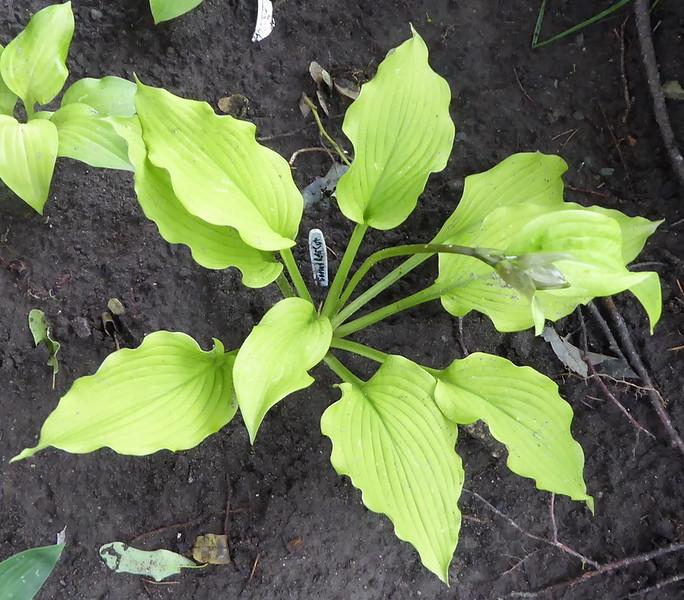 2014 seedling of 'H. 'Emerald Ruff Cut',  2017 - July 1