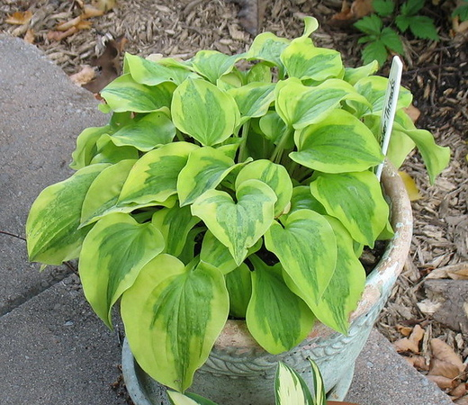 Hosta 'Silver Threads and Golden Needles' - 2015 - July 25