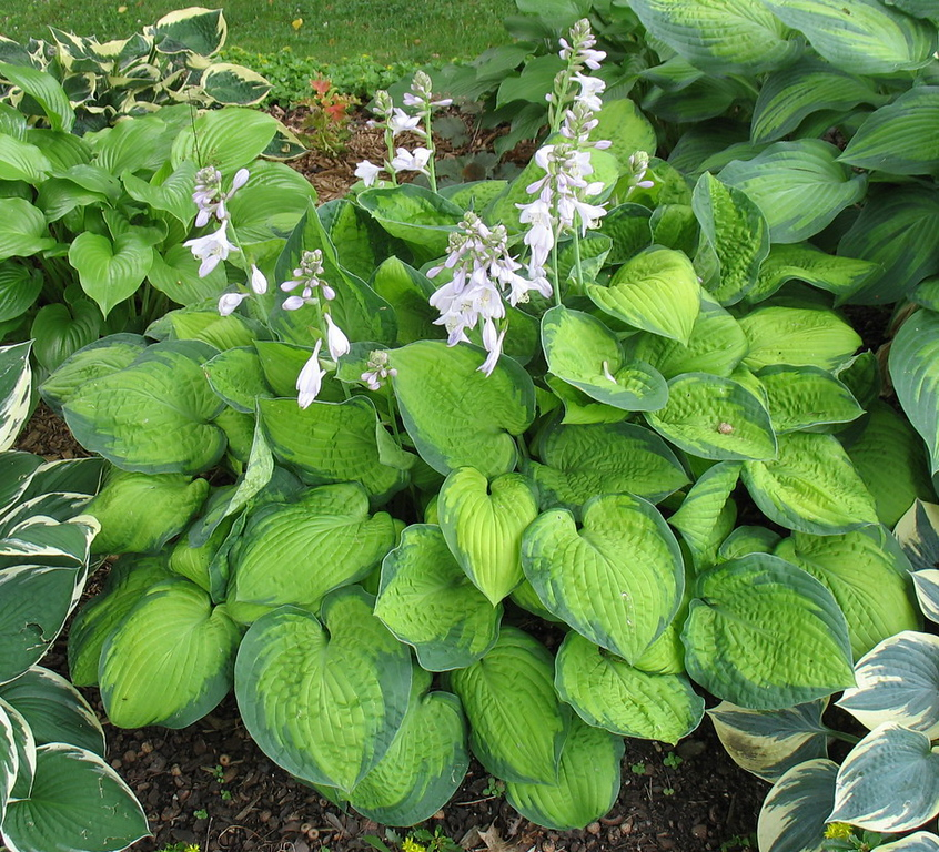 Hosta 'September Sun' - 2014 - July 16