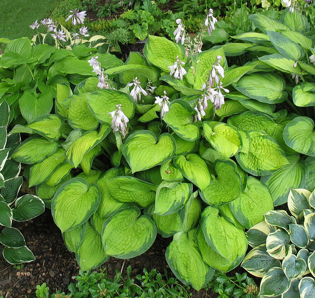 Hosta 'September Sun' - 2013 - July 28