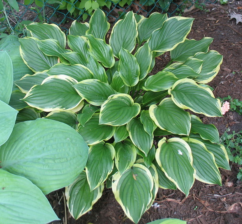 Hosta 'So Sweet' - 2010