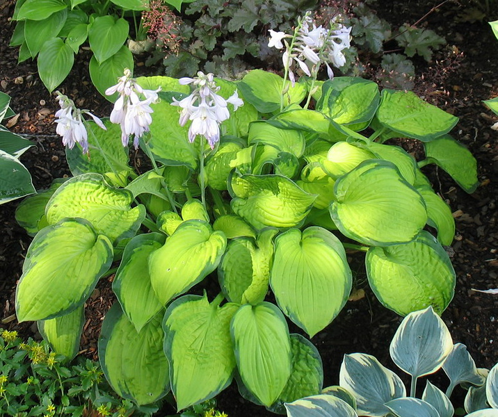 Hosta 'September Sun' - 2016 - July 20