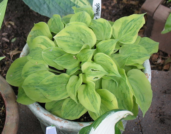 Hosta 'Silver Threads and Golden Needles' - 2012 - June 26