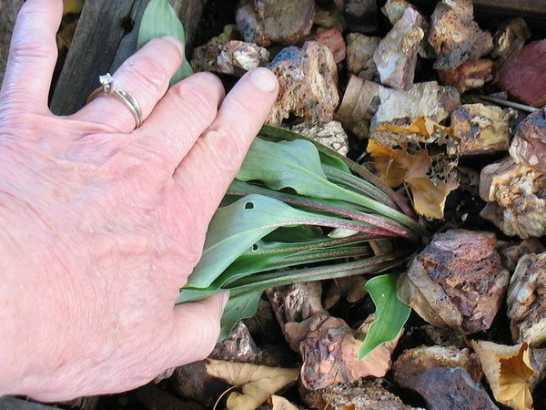 2013 seedling from Hosta 'Touch of Class' - 2014 - Aug. 9