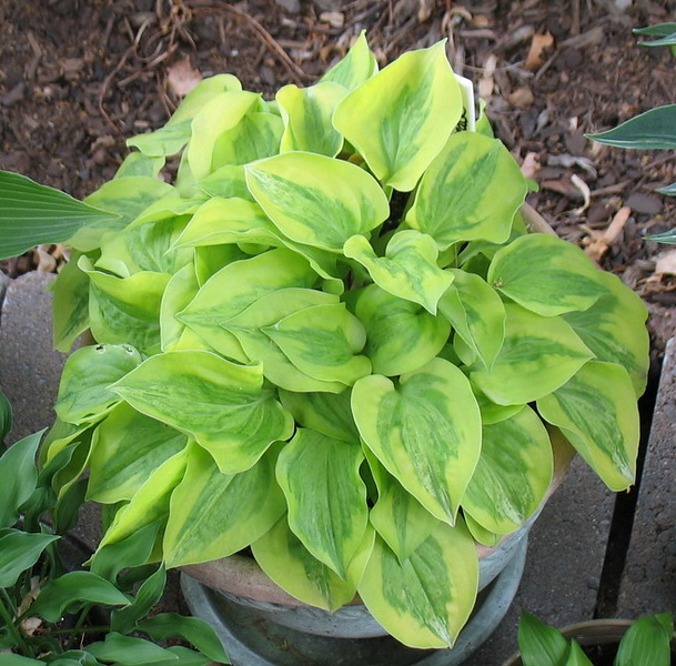Hosta 'Silver Threads and Golden Needles' - 2016 - July 7
