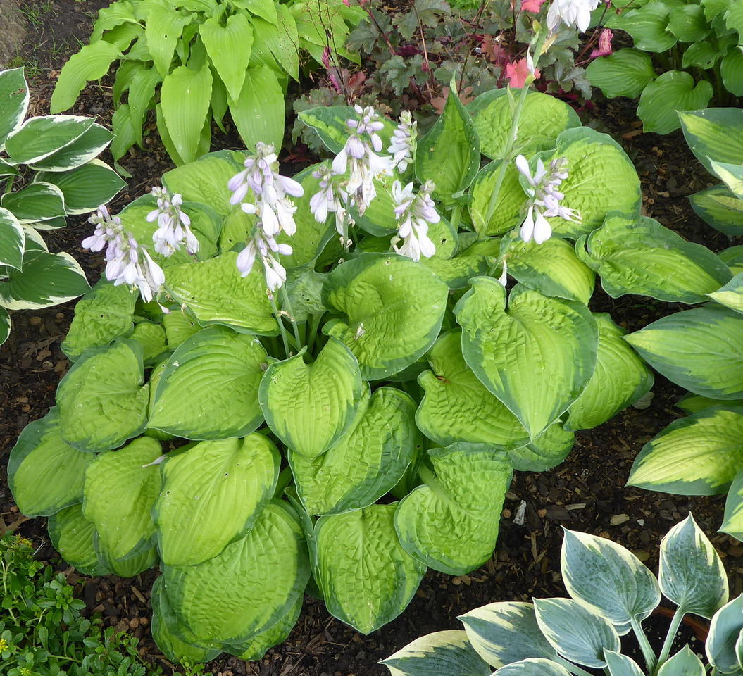 Hosta 'September Sun' - 2017 - July 27
