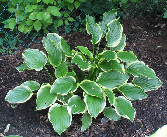 Hosta 'So Sweet' - 2011
