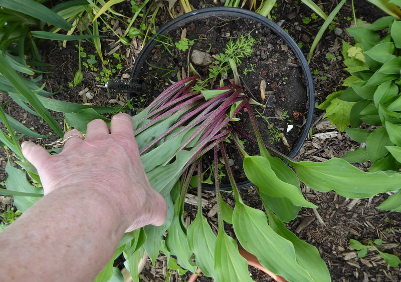 2013 seedling of Hosta 'Touch of Class' - 2017 - June 9